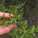 Mountain Cedar May Stick Around How Long?